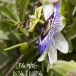 passiflore photo stage natura